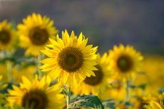 Azienda agricola del fiore di Sun Fotografie Stock Libere da Diritti
