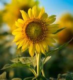 Azienda agricola del fiore di Sun Fotografie Stock