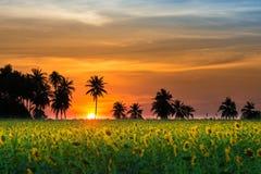 Azienda agricola del fiore di Sun Immagini Stock Libere da Diritti