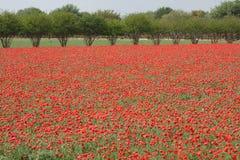 Azienda agricola del fiore selvaggio nel Texas del sud Immagine Stock