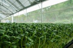 Azienda agricola del germoglio del fiore di Sun fotografia stock