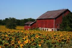 Azienda agricola del girasole Fotografie Stock
