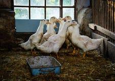 Azienda agricola del granaio dell'anatra vecchia Fotografie Stock