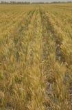 Azienda agricola del grano Fotografia Stock Libera da Diritti