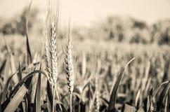 Azienda agricola del grano Immagini Stock Libere da Diritti
