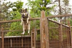 Azienda agricola del husky Cane che si siede sul recinto Immagine Stock