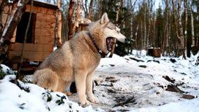 Azienda agricola del husky siberiano fotografia stock
