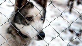 Azienda agricola del husky siberiano immagini stock libere da diritti