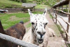 Azienda agricola del lama Fotografie Stock