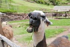 Azienda agricola del lama Immagini Stock