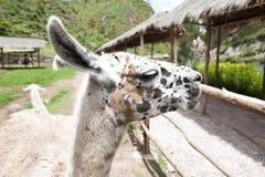 Azienda agricola del lama Fotografie Stock Libere da Diritti