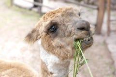 Azienda agricola del lama all'aperto Fotografia Stock Libera da Diritti