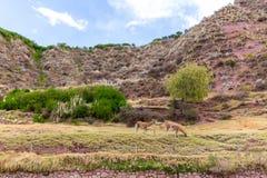 Azienda agricola del lama, alpaga, vigogna nel Perù Immagine Stock
