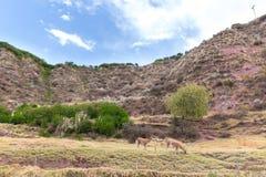 Azienda agricola del lama, alpaga, vigogna nel Perù, Sudamerica. Animale andino. Immagini Stock Libere da Diritti