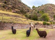 Azienda agricola del lama, alpaga, vigogna nel Perù, Sudamerica. Animale andino. Fotografia Stock