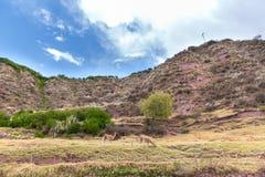Azienda agricola del lama, alpaga, vigogna nel Perù, Sudamerica. Animale andino. Il lama è sudamericano Fotografia Stock