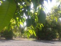 Azienda agricola del mango immagine stock libera da diritti