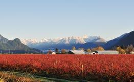 Azienda agricola del mirtillo della valle di Fraser in inverno Fotografia Stock