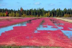 Azienda agricola del mirtillo rosso fotografia stock libera da diritti