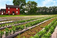 Azienda agricola del pepe Immagini Stock Libere da Diritti