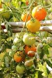 Azienda agricola del pomodoro Immagini Stock