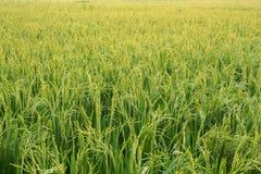 Azienda agricola del riso, colore d'annata di stile Fotografia Stock