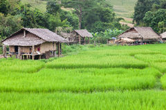Azienda agricola del riso con l'agricoltore Immagine Stock