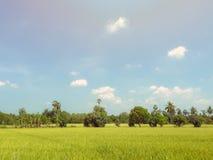 Azienda agricola del riso del gelsomino della risaia dal centro della Tailandia con le sedere del cielo blu Fotografie Stock