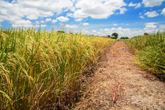 Azienda agricola del riso del gelsomino giallo contro cielo blu Fotografie Stock Libere da Diritti