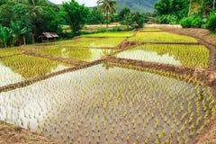 Azienda agricola del riso della Tailandia Fotografia Stock