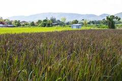 Azienda agricola del riso in foresta con la montagna immagini stock libere da diritti