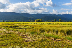 Azienda agricola del riso nel raccolto Fotografie Stock Libere da Diritti