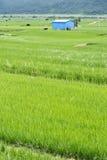 Azienda agricola del riso in paese Immagini Stock Libere da Diritti