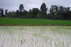 Azienda agricola del riso in rurale della Tailandia immagini stock
