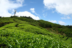 Azienda agricola del tè Immagini Stock