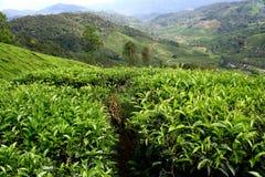 Azienda agricola del tè Immagine Stock Libera da Diritti