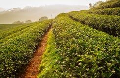 Azienda agricola del tè Fotografia Stock