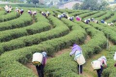 Azienda agricola del tè immagine stock