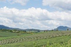Azienda agricola del tè Fotografie Stock Libere da Diritti