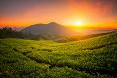 azienda agricola del tè in altopiano di Cameron Immagini Stock
