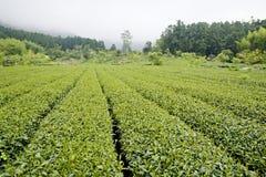 Azienda agricola del tè di alta montagna Immagine Stock
