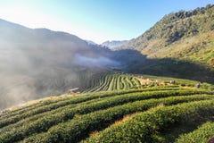 2000 azienda agricola del tè, montagna di Doi Angkhang, Chiangmai, Tailandia Fotografia Stock Libera da Diritti