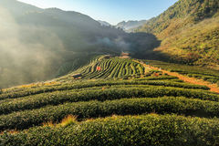2000 azienda agricola del tè, montagna di Doi Angkhang, Chiangmai, Tailandia Fotografie Stock Libere da Diritti