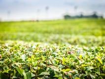 Azienda agricola del tè nell'isola di Jeju, Corea del Sud Immagine Stock