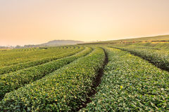 Azienda agricola del tè verde Immagini Stock