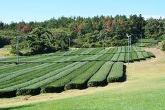 Azienda agricola del tè verde Fotografia Stock
