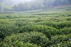 Azienda agricola del tè verde Fotografia Stock Libera da Diritti