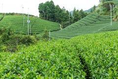 Azienda agricola del tè verde Immagini Stock Libere da Diritti