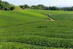 Azienda agricola del tè verde Immagine Stock