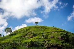 Azienda agricola del tè verde con il blu Fotografia Stock